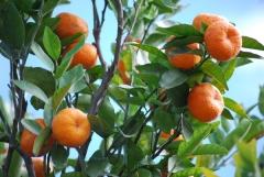 Vilcabamba mandarijnen